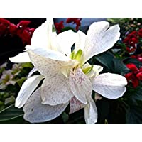 Pinkdose 10 Canna Lily Seeds - Tropical White, Canna Flower - Wonderful Foliage