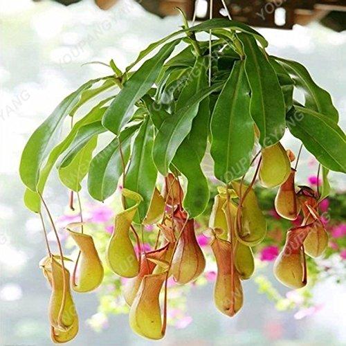 50 graines / l'unité Graines de plantes insectivores Potted Dionaea rares Dionée Bonsai graines terrestres Miracle Bonsai plantes Noir