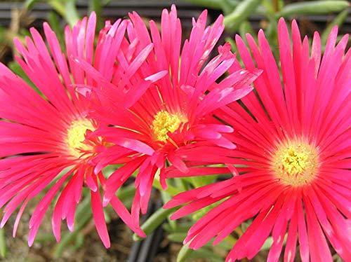 Portal Cool Lampranthus Spec. 'Red' - 1 - -Anlage - Free P/P, wenn Sie kaufen 3+ Artikel