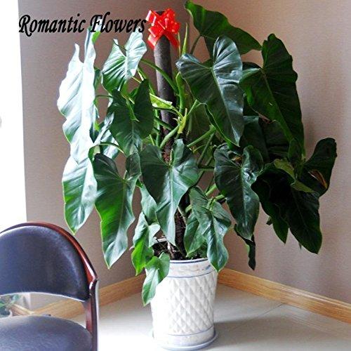 Rare semi filodendro, foglia di vite, piante d'appartamento Anti Radiation Assorbire polvere albero semi di 100 particelle di semi