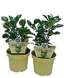 Kaffir-Limette, Citrus hystrix, 2 Pflanzen
