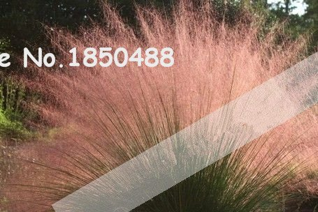 2016 Neu! 100pcs / Muhly Grassamen, seltene Pflanze Hausgärten Ziergrassamen, Muhly Grass Hairawn Golf Pampas Grass