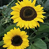 #5: Sunflower Tall Flower Desi Seeds Summer Variety Special for Home and Balcony Gardening (Buy 1 Get 1 Free) By Kraft Seeds