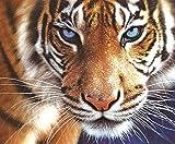 Dorara DIY 5D Kit de Pintura de Diamantes, Cristales Bordados Cuadros Arte Manualidades para decoración del hogar,La Mirada del Tigre,10 x 12 Pulgadas