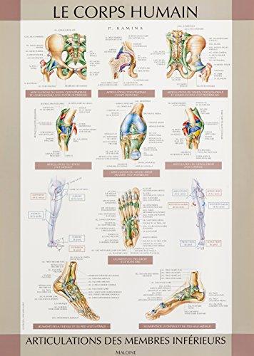 Le corps humain, planches murales d'anatomie. Les articulations : membre inférieur