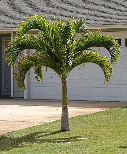 Portal Cool Weihnachten Palm Manila Palm Adonidia Veitchia merrillii 10 Samen (Freies Verschiffen)