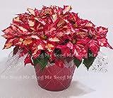 Shopmeeko 100 Stk. Bonsai Weihnachtsstern Pflanze, Euphorbia Pulcherrima, seltene Blütenpflanzen Pflanze, Balkon Topfpflanzen: 6
