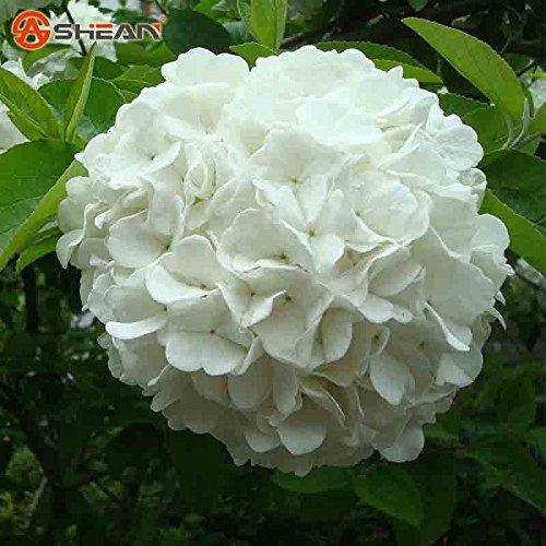 Semi di ortensia bianca Balcone Bonsai Viburnum Hydrangea Macrophylla Bonsai pianta Semi di fiori pe