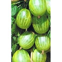 Stachelbeere - Ribes uva-crispa - Mucurines - ertragreich, robust