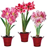 LIVE GREEN Amaryllis Lily Multi-Color Flower Bulbs - Pack of 10 Bulbs