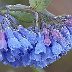 oplon 30Pcs Glockenblume Blumensamen Saatgut Hauptgartenarbeit Balkon Innenvergossenen (1)