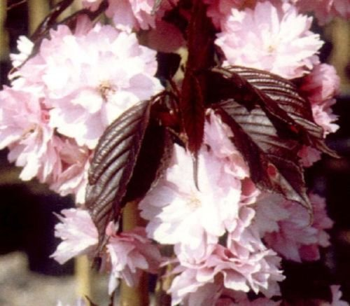 1x-3-4ft-mini-dwarf-prunus-royal-burgundy-tree-flowering-japanese-cherry-5l
