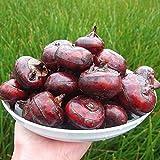 Plentree 1 / PCS Castagna d'Acqua Frutta Seme Super Big Miele Dolce-Rugiada Piante Semi Giardino