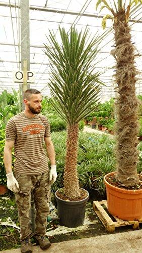 Yucca filifera - Palmlilie - RARITÄT - verschiedene Größen - PALLETTENVERSAND INNERHALB DEUTSCHLAND (220+cm - Stamm 100+cm - Ø 55cm)