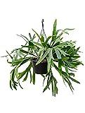 Geweihfarn 50-60 cm im 28 cm Topf pflegeleichte Zimmerpflanze für Hell-Halbschatten Platycerium bifurcatum 1 Pflanze