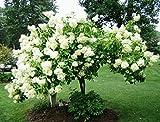 Portal Cool Baum Hydrangea! Wachsende Hardy Schnelle Strauch/Baum! Große Blumen! Auffällige! frische Samen