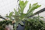 Plante d'intérieur - Corne d'élan- Corne de cerf - Dans un pot suspendu de 18cm et environ 50cm de large