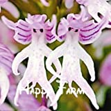 SwansGreen Burgundy : 100pcs Beautiful Monkey face orchids seeds Multiple varieties Bonsai plants Seeds for home & garden