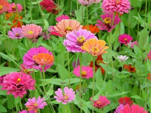 AGROBITS 200 ZINNIA N MIX Elegans Flowes Gift & CombSH -