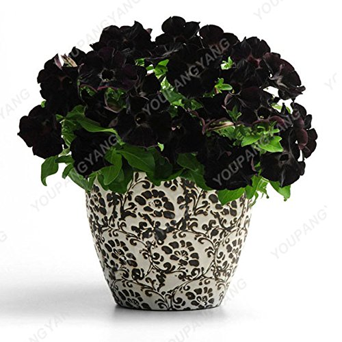 200 pcs / sac Petunia Graines Bonsaï Graines de fleurs Court Taille Jardin Fleurs Graines d'intérieur ou à l'extérieur Livraison gratuite Plante en pot bleu ciel