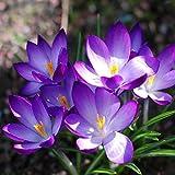 100pcs Garden Courtyard Evergreen Arbuste Plantes Crocus sativus Seeds