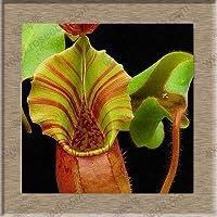 RETS Semillas: Nepenthes Planta, Planta carnívora Nepenthes, 50 partículas/Bolsa: Verde del ejército