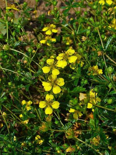 ScoutSeed 50 Samen Bloodroot - Potentilla Erecta färberpflanze rotwurz tormentill