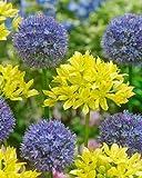 PLAT FIRM GERMINATIONSAMEN: 10 Blau Gelb Allium-Birnen Blühende Zwiebel Blühende Stauden Gartenblume