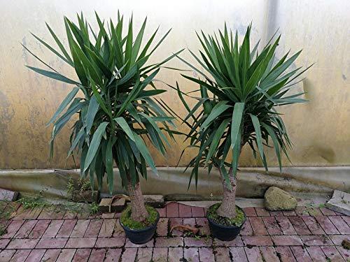 Yucca Elephantipes 130-150 cm Riesen-Palmlilie Sonderposten Zimmerpflanze