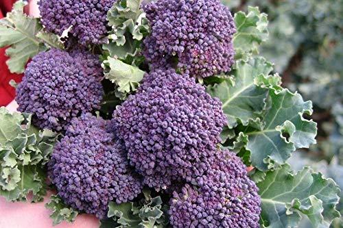 Seeds Paket Nicht NUR S: Samen oder: Purple sprießen Brokkoli-Samen, Non-GMO, Variety Größen, FREIES Schiff