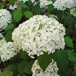 Ballhortensie 'Annabelle' - Hydrangea arborescens 'Annabelle' - Hortensie