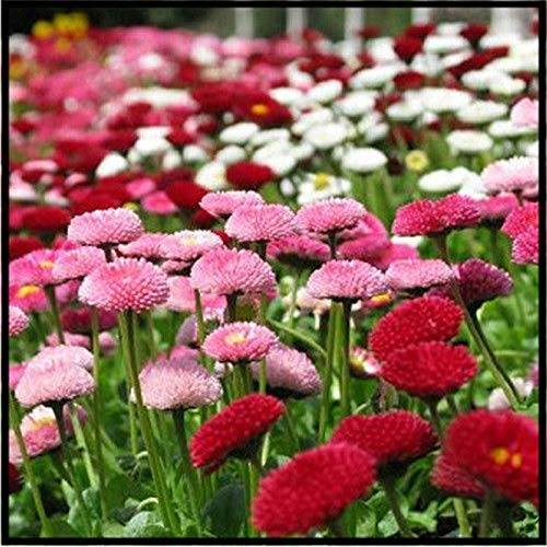 honic 20/50 / 100 / 200pcs daisy flores crisantemo pianta dei bonsai perenne bonsai fiore margherita pianta in vaso per la casa della decorazione del giardino: camomilla 200