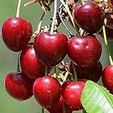Müllers Grüner Garten Shop Regina späte Süßkirsche süß aromatisch Kirschbaum Halbstamm 170-200 cm 10 Liter Topf Unterlage F12/1