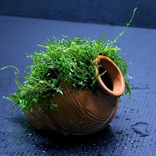 java-moss-ceramic-jar-s-aquarium-ornament-live-aquaric-plant-fish-tank-no-pesticides