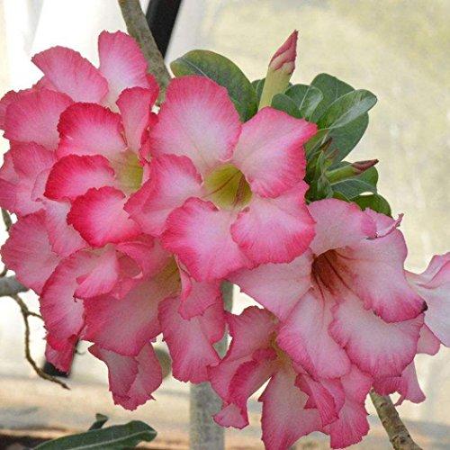 Ncient 100pcs/Sac Graines Semences Rose du Désert, Rose Fleurs Parfumée Seed Plante en Pot Décoration d'Intérieu Jardin
