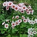 lichtnelke - Japanische Etagenprimel 'Apple Blossum' (Primula japonica) von Lichtnelke Pflanzenversand bei Du und dein Garten