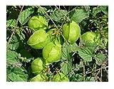 10x Cardiospermum halicacabum Ballonrebe Kletterpflanze Samen Garten ID34