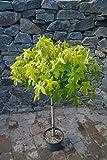 Liquidambar styraciflua Gumball Zwerg Kugel Amberbaum auf Stamm (Stammhöhe 80 cm)