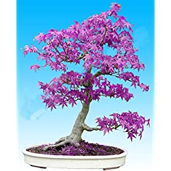 20pcs púrpura fantasma azul árbol de arce japonés, (Acer palatum)