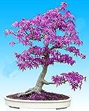 20pcs Lila blauer Geist japanischen Ahornbaum, (Acer Palatum), Bonsai-Blumensamen, Baumsamen, Topfpflanze für Heim & Garten