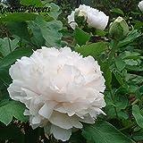 Pfingstrose Samen, Getopfte Samen, Pfingstrose Blume Samen Garten Pflanzen, mehrjährige Pflanzen-10Stück/Beutel