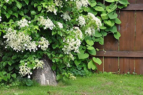 Kletterhortensie (Hydrangea anomala) 10 Samen