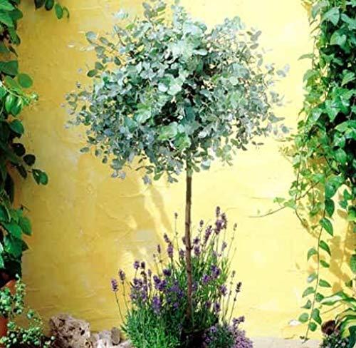 Adolenb Jardin- Eucalyptus Bleu Graines Raretés Ornementales Parfumées Anti-moustiques et Cidre de Mouche Eucalyptus pour Jardin Balcon Plantes en pot rustiques vivaces