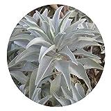 Samen für weißen Salbei, Salvia Apiana, von WuWxiuzhzhuo, Zeremonielle Aromatik, 100 Stück 1