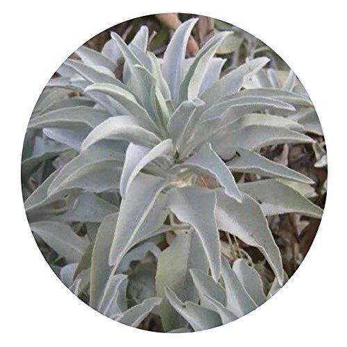 WuWxiuzhzhuo Lot de 100 Graines de Sauge Blanche Salvia Apiana de Californie, Aromate de Cérémonie, Sacré