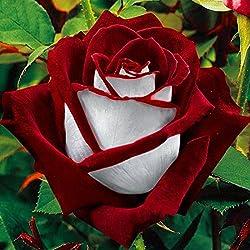 Semillas rojas y blancas de Osiria de la semilla rara para el jardín de la casa de la planta de la familia, 100pcs / Bag