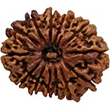 13 Mukhi Rudraksha Original Nepal Certified 26.36mm | You Will Get The Same Bead That is Shown