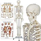 Modèle anatomique du squelette humain - Grandeur nature 175...
