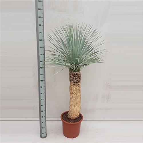 Blumen Senf Yucca Rostrata Stamm: 90-120 cm / Höhe 150-190 cm Winterhart Pflanze im Topf bis -20°C …