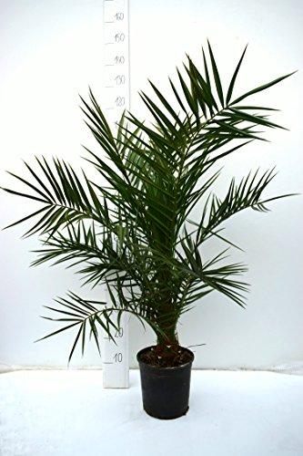 Kanarische Dattelpalme - Phoenix canariensis - Gesamthöhe 100-110cm - Topf Ø 22cm